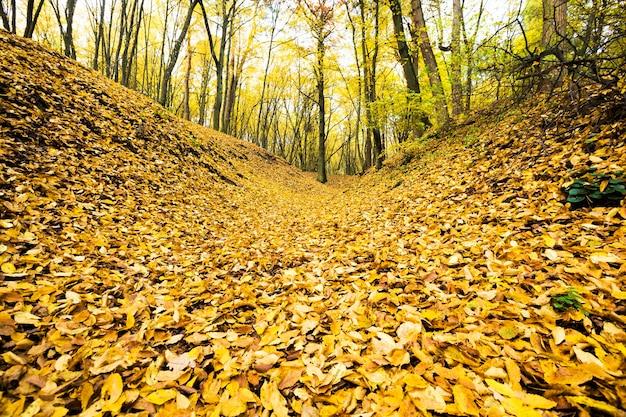 Gelbes laub der bäume auf dem boden nach dem laubfall, echte herbstnatur im wald