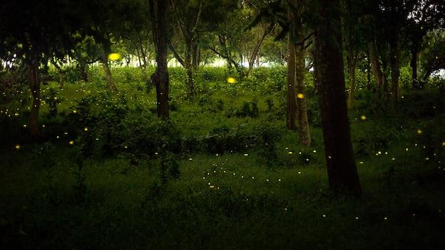 Gelbes licht von glühwürmchen fliegen in naturwald nachts nach sonnen
