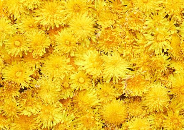 Gelbes löwenzahnhintergrundfrühlingsmuster