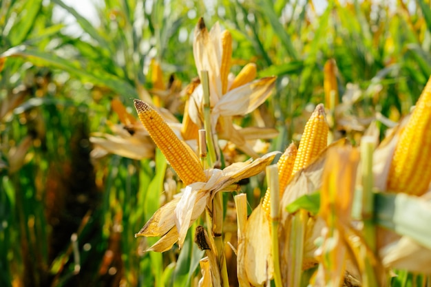 Gelbes lot gedruckt maiskolben auf dem gebiet