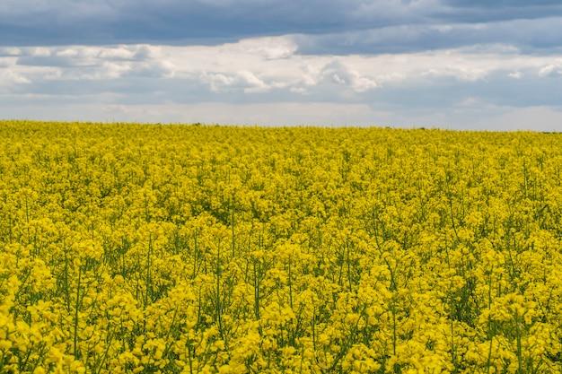 Gelbes rapsfeld gegen blauen himmelshintergrund.