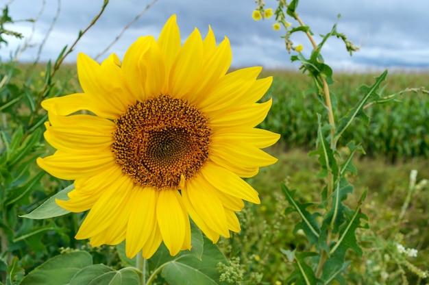 Gelbes sonnenblumenfeld. auf gewitterwolken. vor dem regen