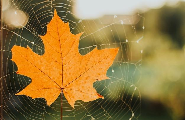Gelbes trockenes ahornblatt auf einem spinnennetz bei sonnenuntergang