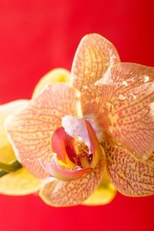 Gelbes und rotes orchideenmakro mit wassertropfen. phalaenopsis. nahansicht. frühling.