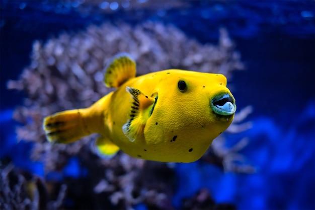Gelbgoldener kugelfisch perlhuhn kugelfisch unter wasser
