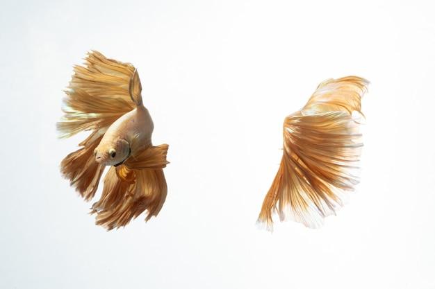 Gelbgoldfarbe von siamesischer kampffisch betta-bewegung auf weißem hintergrund