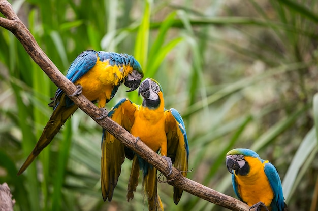 Gelbschnabelaras in der natur