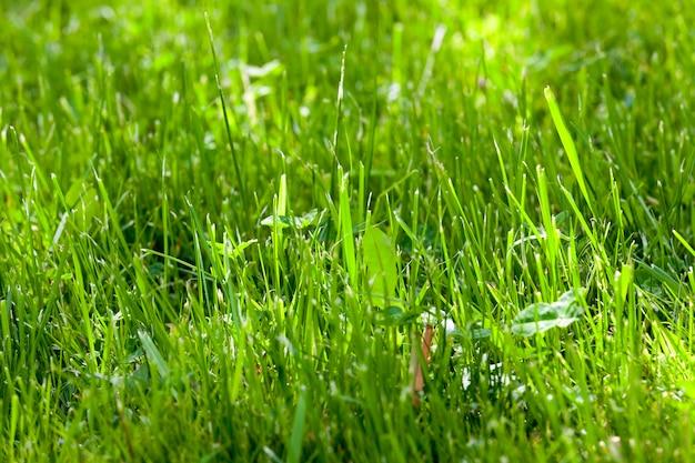 Gemähtes grünes gras, das auf dem rasen wächst. foto nahaufnahme. kleine schärfentiefe