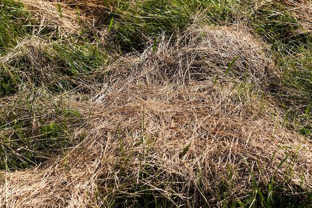 Gemähtes und getrocknetes gras für tierfutter, trockenes grasheu für die landwirtschaft