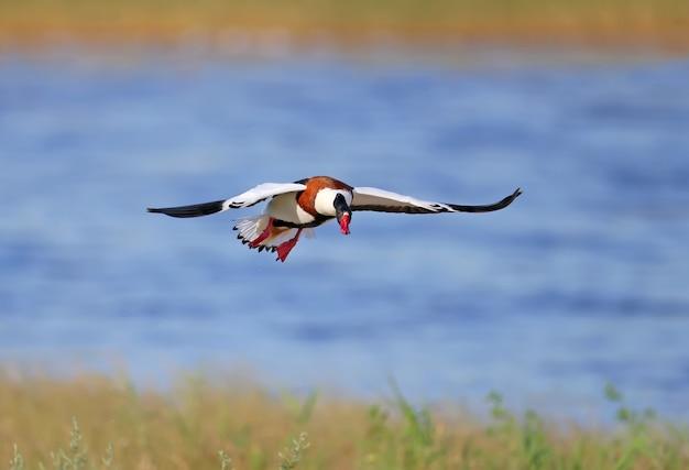 Gemeine ente (tadorna tadorna) während der paarungszeit. fotos dieser vögel im flug und am boden.