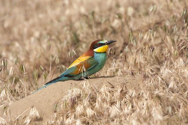 Gemeiner bienenfresservogel mit bunten federn thront auf einem felsen