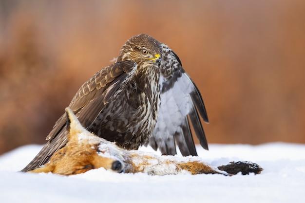 Gemeiner bussard, der im winter neben dem toten fuchs auf schnee steht