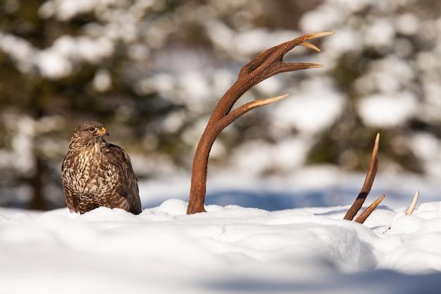 Gemeiner bussard, der zu den geweihen auf schnee im winter schaut
