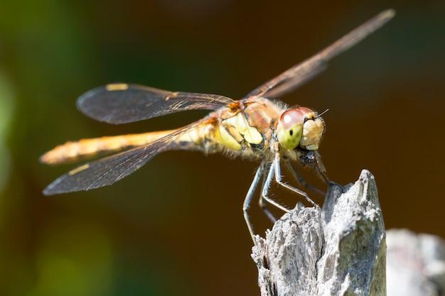 Gemeiner darter libelle im sonnenlicht sitzt auf einem zweig und isst eine fliege