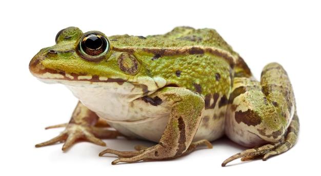 Gemeiner europäischer frosch oder essbarer frosch - rana esculenta