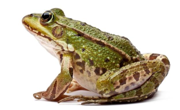Gemeiner europäischer frosch oder essbarer frosch - rana kl. esculenta