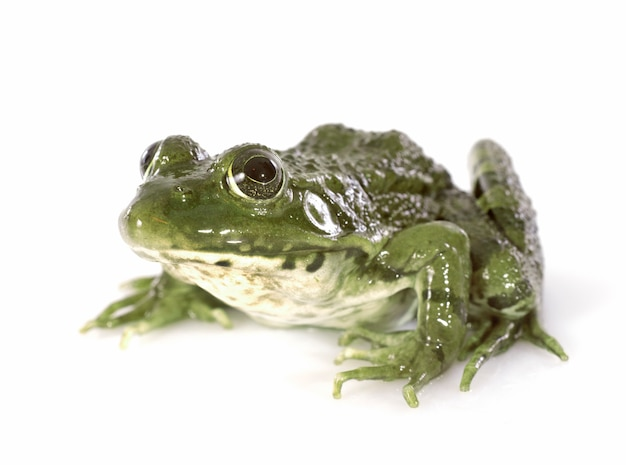 Gemeiner frosch