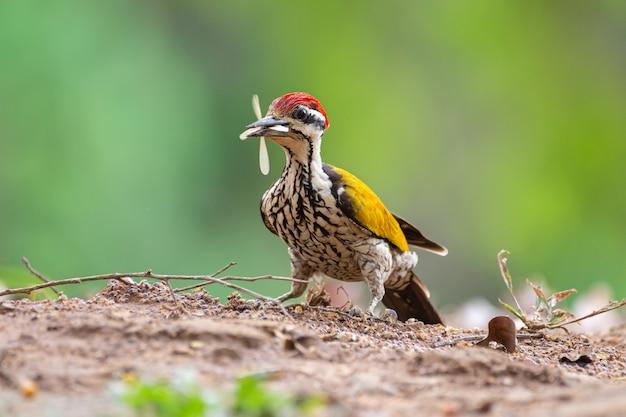 Gemeiner goldrücken im kaeng krachan national park