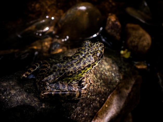 Gemeiner laubfrosch oder goldener laubfrosch auf felsen nahe dem gebirgsbachwasser, das in einen wald fließt.