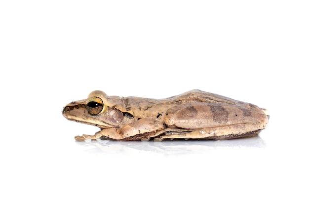 Gemeiner laubfrosch, vierzeiliger laubfrosch, goldener laubfrosch (polypedates leucomystax). tier. amphibien.