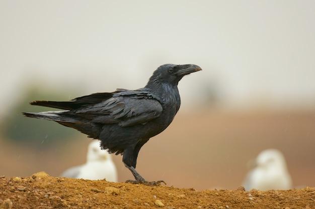 Gemeiner rabe (corvus corax). krähe