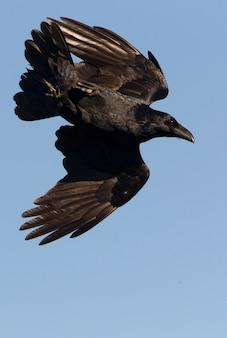 Gemeiner rabe mit den ersten lichtern des tages fliegen, rabe, krähe, vögel, corvus corax