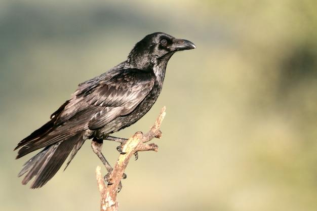 Gemeiner rabe mit den ersten lichtern des tages, rabe, krähe, vögel, corvus corax