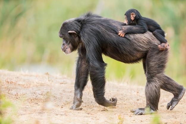 Gemeiner schimpanse mit einem babyschimpanse