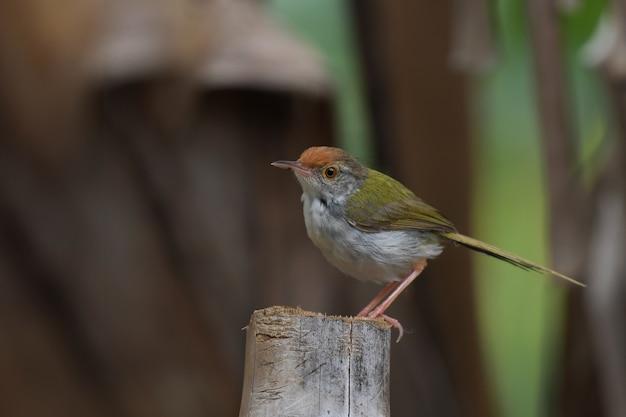Gemeiner tailorbird auf baumstumpf. kopieren sie platz