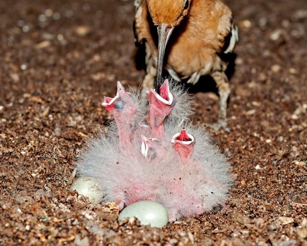 Gemeiner wiedehopf füttert ihre küken am nest