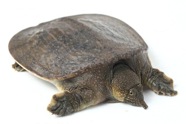 Gemeinsame asiatische softshell-schildkröte lokalisiert auf weiß