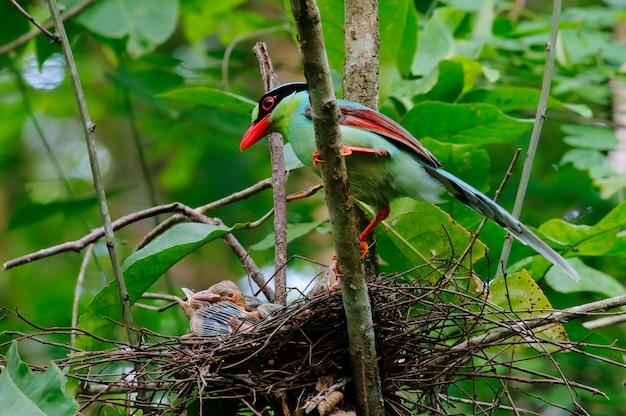 Gemeinsame grüne elster cissa chinensis schöne vögel im nest mit baby