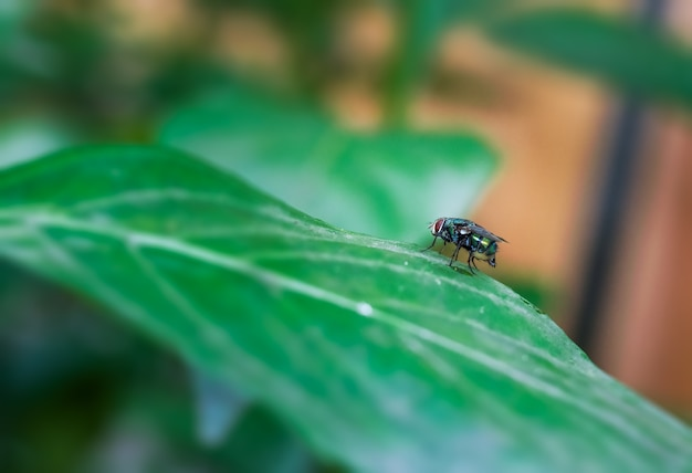 Gemeinsames grünes flaschenfliegeninsekt, das auf einem grünen blatt nah oben sitzt sitting