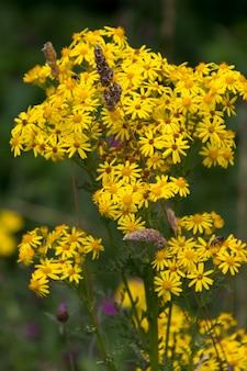 Gemeinsames kreuzkraut (jacobaea vulgaris) blüht in der nähe von ardingly reservoir in sussex Premium Fotos