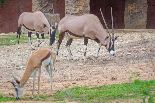 Gemsbok-antilope (oryx gazella) rotwild, südafrika
