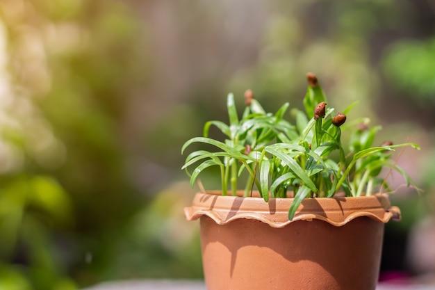 Gemüse aus grünen blättern pflanzt chinesischen convolvulus in den braunen topf mit grünem verschwommenem bokeh-hintergrund