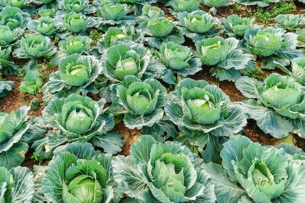 Gemüse, das am bergrand wächst, ebenso viele nützliche gemüse.