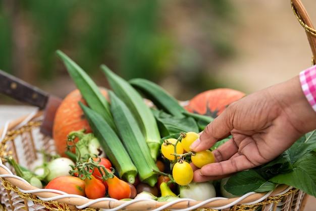 Gemüse ernten organisch im korb am bauernhof, erntezeitgemüse, biologische landwirtschaft für gesunden lebensstil
