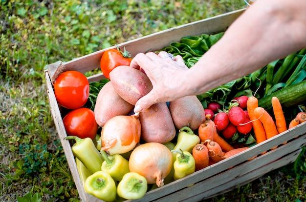 Gemüse in holzkiste und alten weiblichen händen mit frischer ernte. ältere frau, die bio-lebensmittel in ihrem garten produziert. kartoffel aus offener kiste auf bauernhof wählen. ansicht schließen