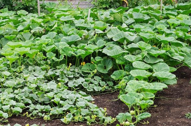 Gemüsegarten, kürbisbeet
