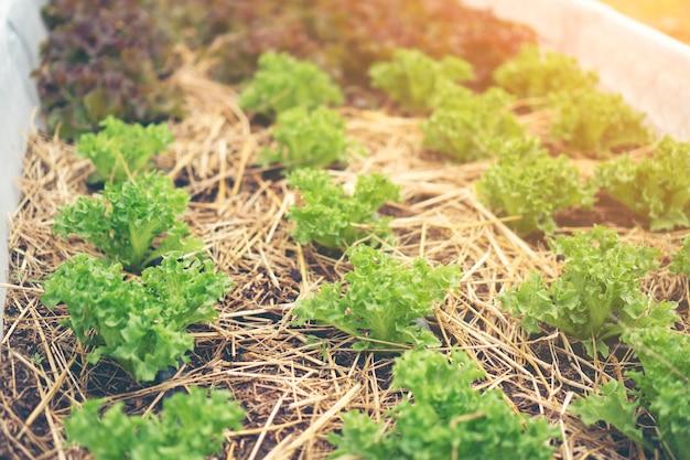 Gemüsegarten salat auf dem bauernhof