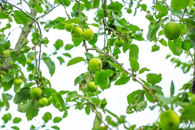 Gemüsegrüner hintergrund aus ästen mit äpfeln, die den garten wachsen und pflegen