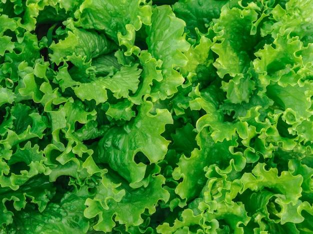 Gemüsepflanze des organischen grünen eichensalats im bauernhof für landwirtschaftskonzept