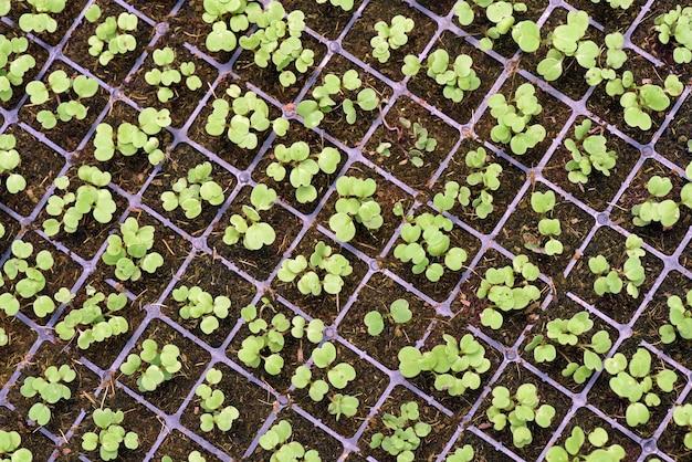 Gemüsesprossen in der entwicklung durch hydrokultur