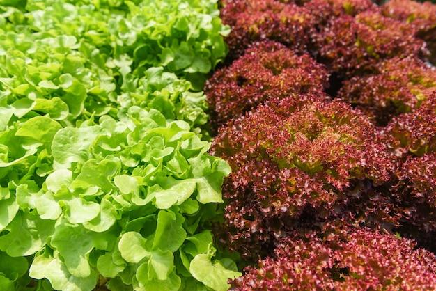 Gemüsewasserkultursystem, junge und frische grüne eiche und rote rote korallensalat-wachsende gartenwasserkultursalatanlagen auf wasser ohne bodenlandwirtschaft im gewächshaus, das für organisch ist, heilen