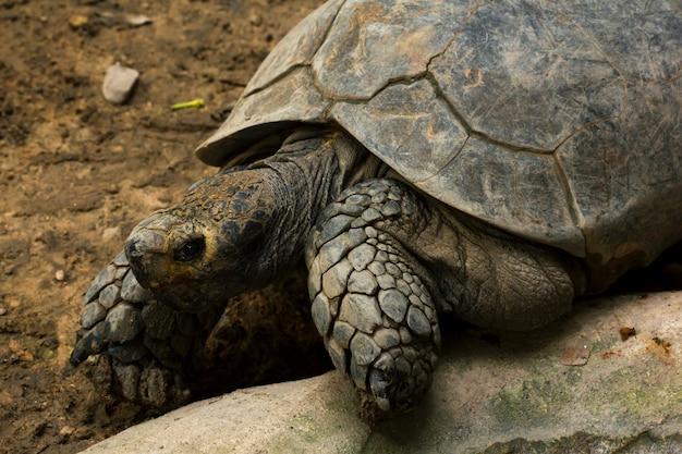 Geochelone sulcata im zoo