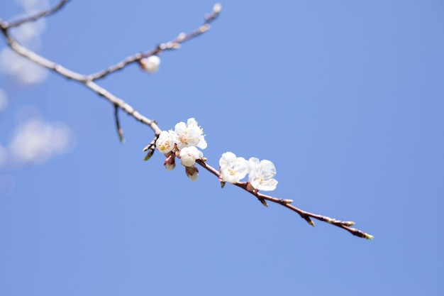Geöffnete blume des aprikosenbaums underneibo