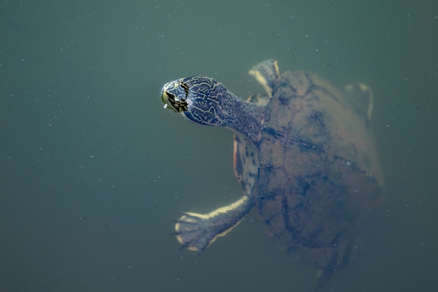 Geoffroys seitenhalsschildkröte der art phrynops geoffroanus