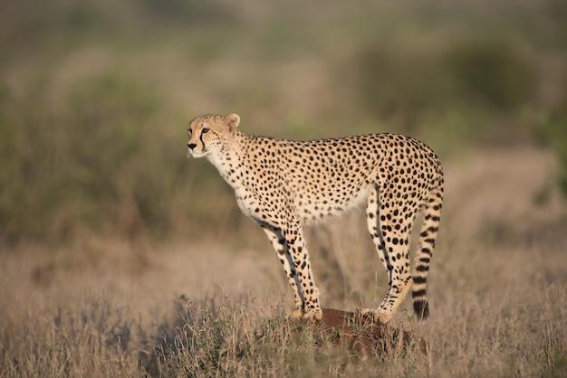 Gepard auf dem felsen stehend auf der suche nach einer beute