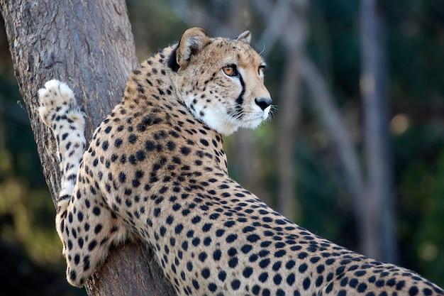 Gepard auf einem baum